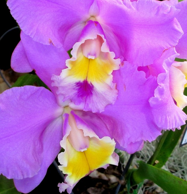 cattleya rosies surprise