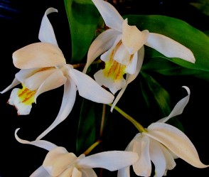 Coelogyne 'Unchained Melody', coelogyne unchained melody, orchid, orchids, cymbidium, south east Melbourne, Melbourne, orchid clubs, orchid societies, OSCOV, orchid photos, orchid care, orchid pictures, orchid images, orchid shows, orchid newsletters, orchids on Facebook, orchids of Twitter, Moorabbin, Bentleigh, Brighton, Hampton, Sandringham, Black Rock, Beaumaris, Bayside Council, Bayside district, Kingston, Bayside Melbourne, SE Suburbs, Parkdale, Mordialloc, Carnegie, Cheltenham, McKinnon, Highett, Oakleigh, Clarinda, Heatherton, Clayton, Dingley, Elsternwick, Caulfield, Ormond, Glenhuntley, Murrumbeena,