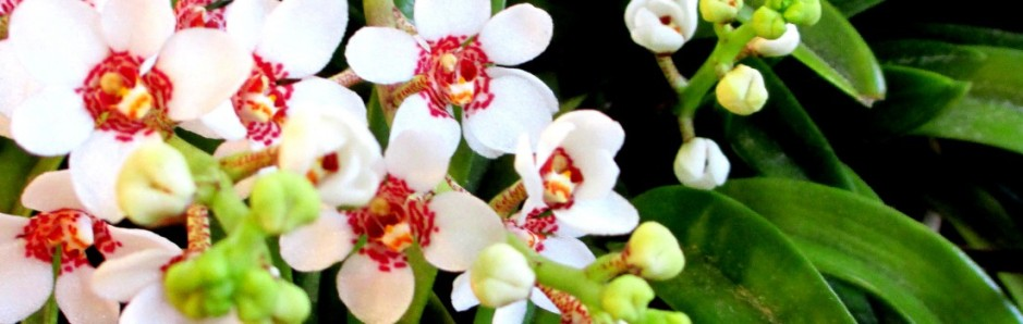 sarcochilus-red-the-globe
