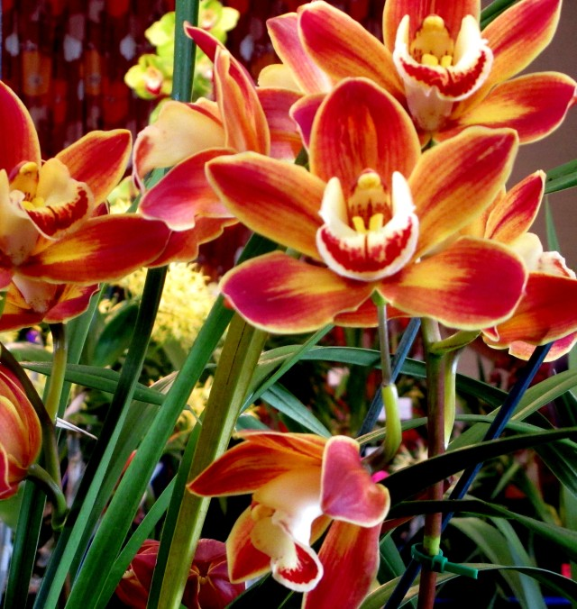 cymbidium wallacia burnt gold