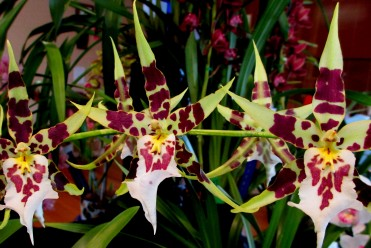 zygopetalum orchid, zygos, zygopetalums, orchid, orchids, cymbidium, south east Melbourne, Melbourne, orchid clubs, orchid societies, OSCOV, orchid photos, orchid care, orchid pictures, orchid images, orchid shows, orchid newsletters, orchids on Facebook, orchids of Twitter, Moorabbin, Bentleigh, Brighton, Hampton, Sandringham, Black Rock, Beaumaris, Bayside Council, Bayside district, Kingston, Bayside Melbourne, SE Suburbs, Parkdale, Mordialloc, Carnegie, Cheltenham, McKinnon, Highett, Oakleigh, Clarinda, Heatherton, Clayton, Dingley, Elsternwick, Caulfield, Ormond, Glenhuntley, Murrumbeena,