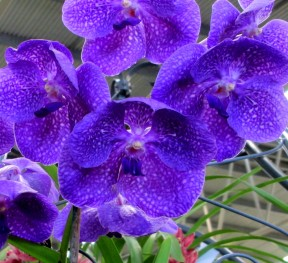 Vanda 'Rose Davis', vanda rose davis, orchid, orchids, cymbidium, south east Melbourne, Melbourne, orchid clubs, orchid societies, OSCOV, orchid photos, orchid care, orchid pictures, orchid images, orchid shows, orchid newsletters, orchids on Facebook, orchids of Twitter, Moorabbin, Bentleigh, Brighton, Hampton, Sandringham, Black Rock, Beaumaris, Bayside Council, Bayside district, Kingston, Bayside Melbourne, SE Suburbs, Parkdale, Mordialloc, Carnegie, Cheltenham, McKinnon, Highett, Oakleigh, Clarinda, Heatherton, Clayton, Dingley, Elsternwick, Caulfield, Ormond, Glenhuntley, Murrumbeena,