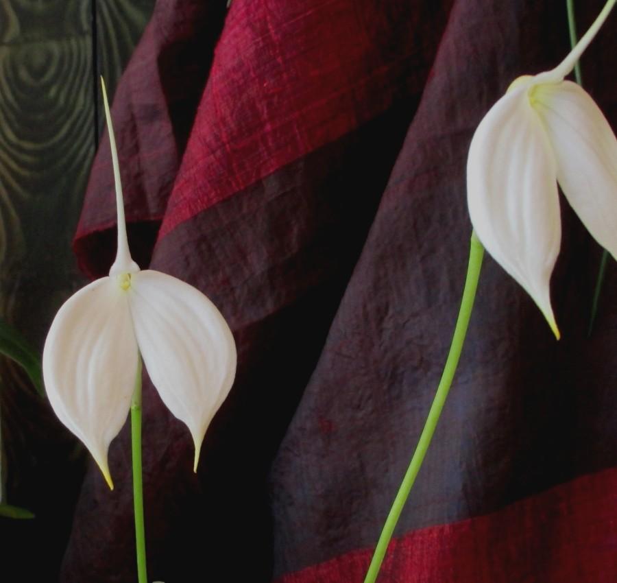 Masdevallia Coccinea 'Blanca' flag orchid, flag orchids, masdavallias, masdevallia coccinea blanca, orchid, orchids, cymbidium, south east Melbourne, Melbourne, orchid clubs, orchid societies, OSCOV, orchid photos, orchid care, orchid pictures, orchid images, orchid shows, orchid newsletters, orchids on Facebook, orchids of Twitter, Moorabbin, Bentleigh, Brighton, Hampton, Sandringham, Black Rock, Beaumaris, Bayside Council, Bayside district, Kingston, Bayside Melbourne, SE Suburbs, Parkdale, Mordialloc, Carnegie, Cheltenham, McKinnon, Highett, Oakleigh, Clarinda, Heatherton, Clayton, Dingley, Elsternwick, Caulfield, Ormond, Glenhuntley, Murrumbeena,