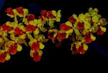 Oncidea 'Little Dragon', Oncidea 'Little Dragon', orchid, orchids, cymbidium, south east Melbourne, Melbourne, orchid clubs, orchid societies, OSCOV, orchid photos, orchid care, orchid pictures, orchid images, orchid shows, orchid newsletters, orchids on Facebook, orchids of Twitter, Moorabbin, Bentleigh, Brighton, Hampton, Sandringham, Black Rock, Beaumaris, Bayside Council, Bayside district, Kingston, Bayside Melbourne, SE Suburbs, Parkdale, Mordialloc, Carnegie, Cheltenham, McKinnon, Highett, Oakleigh, Clarinda, Heatherton, Clayton, Dingley, Elsternwick, Caulfield, Ormond, Glenhuntley, Murrumbeena,