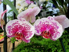 Phalaenopsis (pink spot) aka Moth Orchid, phaelenopsis, orchid, orchids, cymbidium, south east Melbourne, Melbourne, orchid clubs, orchid societies, OSCOV, orchid photos, orchid care, orchid pictures, orchid images, orchid shows, orchid newsletters, orchids on Facebook, orchids of Twitter, Moorabbin, Bentleigh, Brighton, Hampton, Sandringham, Black Rock, Beaumaris, Bayside Council, Bayside district, Kingston, Bayside Melbourne, SE Suburbs, Parkdale, Mordialloc, Carnegie, Cheltenham, McKinnon, Highett, Oakleigh, Clarinda, Heatherton, Clayton, Dingley, Elsternwick, Caulfield, Ormond, Glenhuntley, Murrumbeena,