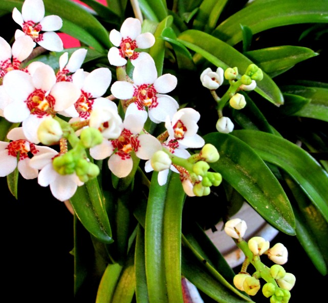 sarcochilus red the globe