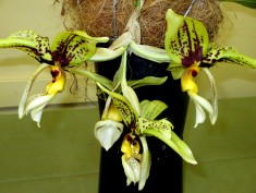 Stanhopea Spindieriana Tigrinaxoculita, stanhopea spindieriana tigrinaxoculita, orchid, orchids, cymbidium, south east Melbourne, Melbourne, orchid clubs, orchid societies, OSCOV, orchid photos, orchid care, orchid pictures, orchid images, orchid shows, orchid newsletters, orchids on Facebook, orchids of Twitter, Moorabbin, Bentleigh, Brighton, Hampton, Sandringham, Black Rock, Beaumaris, Bayside Council, Bayside district, Kingston, Bayside Melbourne, SE Suburbs, Parkdale, Mordialloc, Carnegie, Cheltenham, McKinnon, Highett, Oakleigh, Clarinda, Heatherton, Clayton, Dingley, Elsternwick, Caulfield, Ormond, Glenhuntley, Murrumbeena,