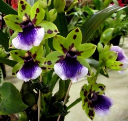 Zygopetalum 'Zest', zygopetalums, zygopetalum zest, orchid, orchids, cymbidium, south east Melbourne, Melbourne, orchid clubs, orchid societies, OSCOV, orchid photos, orchid care, orchid pictures, orchid images, orchid shows, orchid newsletters, orchids on Facebook, orchids of Twitter, Moorabbin, Bentleigh, Brighton, Hampton, Sandringham, Black Rock, Beaumaris, Bayside Council, Bayside district, Kingston, Bayside Melbourne, SE Suburbs, Parkdale, Mordialloc, Carnegie, Cheltenham, McKinnon, Highett, Oakleigh, Clarinda, Heatherton, Clayton, Dingley, Elsternwick, Caulfield, Ormond, Glenhuntley, Murrumbeena,