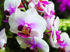 Phalaenopsis (White & Purple Blush) moth orchid, moth orchid, moth orchids, phalaenopsis, orchid, orchids, cymbidium, south east Melbourne, Melbourne, orchid clubs, orchid societies, OSCOV, orchid photos, orchid care, orchid pictures, orchid images, orchid shows, orchid newsletters, orchids on Facebook, orchids of Twitter, Moorabbin, Bentleigh, Brighton, Hampton, Sandringham, Black Rock, Beaumaris, Bayside Council, Bayside district, Kingston, Bayside Melbourne, SE Suburbs, Parkdale, Mordialloc, Carnegie, Cheltenham, McKinnon, Highett, Oakleigh, Clarinda, Heatherton, Clayton, Dingley, Elsternwick, Caulfield, Ormond, Glenhuntley, Murrumbeena,