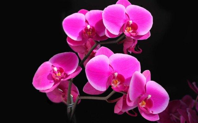 Phalaenopsis (Deep Pink) moth orchid