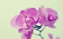 Phalaenopsis (Mauve) moth orchid, moth orchid, moth orchids, phalaenopsis, orchid, orchids, cymbidium, south east Melbourne, Melbourne, orchid clubs, orchid societies, OSCOV, orchid photos, orchid care, orchid pictures, orchid images, orchid shows, orchid newsletters, orchids on Facebook, orchids of Twitter, Moorabbin, Bentleigh, Brighton, Hampton, Sandringham, Black Rock, Beaumaris, Bayside Council, Bayside district, Kingston, Bayside Melbourne, SE Suburbs, Parkdale, Mordialloc, Carnegie, Cheltenham, McKinnon, Highett, Oakleigh, Clarinda, Heatherton, Clayton, Dingley, Elsternwick, Caulfield, Ormond, Glenhuntley, Murrumbeena,