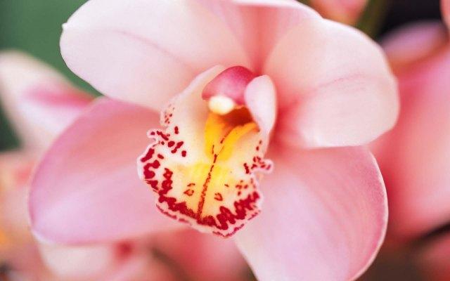 pink cymbidium