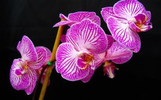 Phalaenopsis (Purple Stripes) moth orchid, moth orchid, moth orchids, phalaenopsis, orchid, orchids, cymbidium, south east Melbourne, Melbourne, orchid clubs, orchid societies, OSCOV, orchid photos, orchid care, orchid pictures, orchid images, orchid shows, orchid newsletters, orchids on Facebook, orchids of Twitter, Moorabbin, Bentleigh, Brighton, Hampton, Sandringham, Black Rock, Beaumaris, Bayside Council, Bayside district, Kingston, Bayside Melbourne, SE Suburbs, Parkdale, Mordialloc, Carnegie, Cheltenham, McKinnon, Highett, Oakleigh, Clarinda, Heatherton, Clayton, Dingley, Elsternwick, Caulfield, Ormond, Glenhuntley, Murrumbeena,