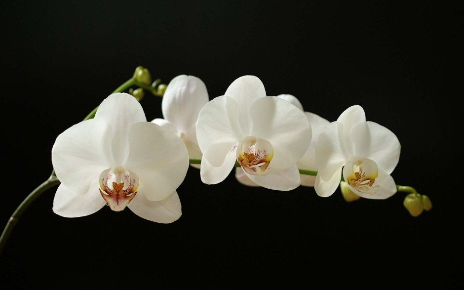 Phalaenopsis (Giant White) moth orchid, moth orchid, moth orchids, white phalaenopsis, orchid, orchids, cymbidium, south east Melbourne, Melbourne, orchid clubs, orchid societies, OSCOV, orchid photos, orchid care, orchid pictures, orchid images, orchid shows, orchid newsletters, orchids on Facebook, orchids of Twitter, Moorabbin, Bentleigh, Brighton, Hampton, Sandringham, Black Rock, Beaumaris, Bayside Council, Bayside district, Kingston, Bayside Melbourne, SE Suburbs, Parkdale, Mordialloc, Carnegie, Cheltenham, McKinnon, Highett, Oakleigh, Clarinda, Heatherton, Clayton, Dingley, Elsternwick, Caulfield, Ormond, Glenhuntley, Murrumbeena,