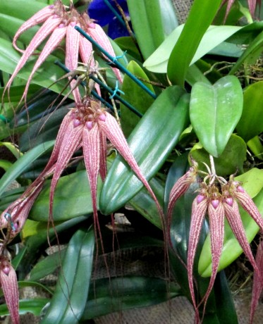 Bulbophyllum Elizabeth Ann 'Buckleberry', bulbophyllums, orchid, orchids, cymbidium, south east Melbourne, Melbourne, orchid clubs, orchid societies, OSCOV, orchid photos, orchid care, orchid pictures, orchid images, orchid shows, orchid newsletters, orchids on Facebook, orchids of Twitter, Moorabbin, Bentleigh, Brighton, Hampton, Sandringham, Black Rock, Beaumaris, Bayside Council, Bayside district, Kingston, Bayside Melbourne, SE Suburbs, Parkdale, Mordialloc, Carnegie, Cheltenham, McKinnon, Highett, Oakleigh, Clarinda, Heatherton, Clayton, Dingley, Elsternwick, Caulfield, Ormond, Glenhuntley, Murrumbeena,