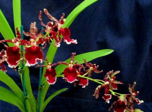 Oncidium Dancing Lady orchid, dancing lady orchids, oncidiums, orchid, orchids, cymbidium, south east Melbourne, Melbourne, orchid clubs, orchid societies, OSCOV, orchid photos, orchid care, orchid pictures, orchid images, orchid shows, orchid newsletters, orchids on Facebook, orchids of Twitter, Moorabbin, Bentleigh, Brighton, Hampton, Sandringham, Black Rock, Beaumaris, Bayside Council, Bayside district, Kingston, Bayside Melbourne, SE Suburbs, Parkdale, Mordialloc, Carnegie, Cheltenham, McKinnon, Highett, Oakleigh, Clarinda, Heatherton, Clayton, Dingley, Elsternwick, Caulfield, Ormond, Glenhuntley, Murrumbeena,