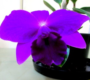 Cattleya CC Mini Purple 'Tamami', cattleyas, orchid, orchids, cymbidium, south east Melbourne, Melbourne, orchid clubs, orchid societies, OSCOV, orchid photos, orchid care, orchid pictures, orchid images, orchid shows, orchid newsletters, orchids on Facebook, orchids of Twitter, Moorabbin, Bentleigh, Brighton, Hampton, Sandringham, Black Rock, Beaumaris, Bayside Council, Bayside district, Kingston, Bayside Melbourne, SE Suburbs, Parkdale, Mordialloc, Carnegie, Cheltenham, McKinnon, Highett, Oakleigh, Clarinda, Heatherton, Clayton, Dingley, Elsternwick, Caulfield, Ormond, Glenhuntley, Murrumbeena,