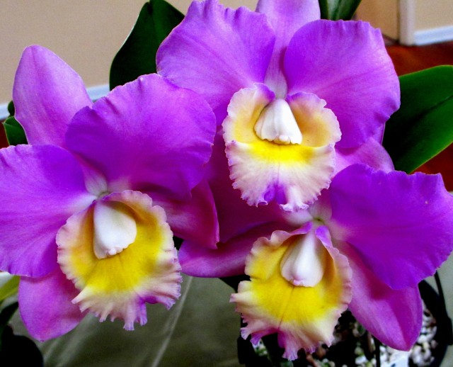Cattleya Erin Kobayashi x Walkeriana, cattleyas. orchid, orchids, cymbidium, south east Melbourne, Melbourne, orchid clubs, orchid societies, OSCOV, orchid photos, orchid care, orchid pictures, orchid images, orchid shows, orchid newsletters, orchids on Facebook, orchids of Twitter, Moorabbin, Bentleigh, Brighton, Hampton, Sandringham, Black Rock, Beaumaris, Bayside Council, Bayside district, Kingston, Bayside Melbourne, SE Suburbs, Parkdale, Mordialloc, Carnegie, Cheltenham, McKinnon, Highett, Oakleigh, Clarinda, Heatherton, Clayton, Dingley, Elsternwick, Caulfield, Ormond, Glenhuntley, Murrumbeena,
