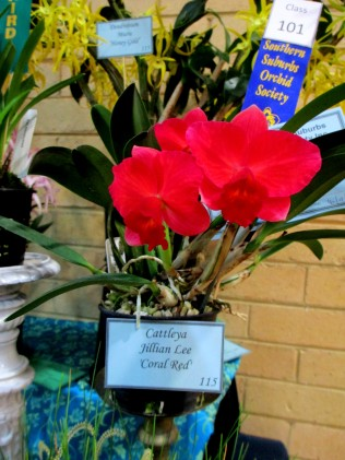 Cattleya Jillian Lee 'Coral Red', cattleya, orchid, orchids, cymbidium, south east Melbourne, Melbourne, orchid clubs, orchid societies, OSCOV, orchid photos, orchid care, orchid pictures, orchid images, orchid shows, orchid newsletters, orchids on Facebook, orchids of Twitter, Moorabbin, Bentleigh, Brighton, Hampton, Sandringham, Black Rock, Beaumaris, Bayside Council, Bayside district, Kingston, Bayside Melbourne, SE Suburbs, Parkdale, Mordialloc, Carnegie, Cheltenham, McKinnon, Highett, Oakleigh, Clarinda, Heatherton, Clayton, Dingley, Elsternwick, Caulfield, Ormond, Glenhuntley, Murrumbeena,