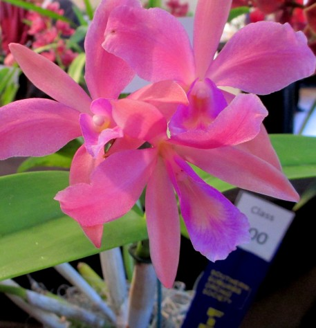 Cattleya LC Boambee 'Carnival', cattleya, orchid, orchids, cymbidium, south east Melbourne, Melbourne, orchid clubs, orchid societies, OSCOV, orchid photos, orchid care, orchid pictures, orchid images, orchid shows, orchid newsletters, orchids on Facebook, orchids of Twitter, Moorabbin, Bentleigh, Brighton, Hampton, Sandringham, Black Rock, Beaumaris, Bayside Council, Bayside district, Kingston, Bayside Melbourne, SE Suburbs, Parkdale, Mordialloc, Carnegie, Cheltenham, McKinnon, Highett, Oakleigh, Clarinda, Heatherton, Clayton, Dingley, Elsternwick, Caulfield, Ormond, Glenhuntley, Murrumbeena,