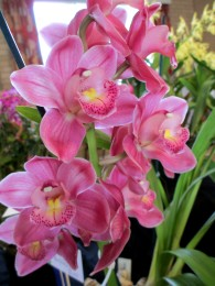 Cymbidium Valley Optic 'Pink Perfection', orchid, orchids, cymbidium, south east Melbourne, Melbourne, orchid clubs, orchid societies, OSCOV, orchid photos, orchid care, orchid pictures, orchid images, orchid shows, orchid newsletters, orchids on Facebook, orchids of Twitter, Moorabbin, Bentleigh, Brighton, Hampton, Sandringham, Black Rock, Beaumaris, Bayside Council, Bayside district, Kingston, Bayside Melbourne, SE Suburbs, Parkdale, Mordialloc, Carnegie, Cheltenham, McKinnon, Highett, Oakleigh, Clarinda, Heatherton, Clayton, Dingley, Elsternwick, Caulfield, Ormond, Glenhuntley, Murrumbeena,