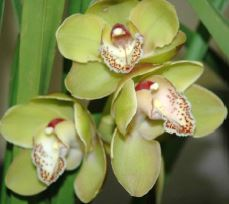 Cymbidium Allumination x Kelly's Winter, orchid, orchids, cymbidium, south east Melbourne, Melbourne, orchid clubs, orchid societies, OSCOV, orchid photos, orchid care, orchid pictures, orchid images, orchid shows, orchid newsletters, orchids on Facebook, orchids of Twitter, Moorabbin, Bentleigh, Brighton, Hampton, Sandringham, Black Rock, Beaumaris, Bayside Council, Bayside district, Kingston, Bayside Melbourne, SE Suburbs, Parkdale, Mordialloc, Carnegie, Cheltenham, McKinnon, Highett, Oakleigh, Clarinda, Heatherton, Clayton, Dingley, Elsternwick, Caulfield, Ormond, Glenhuntley, Murrumbeena,