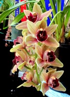Cymbidium Bulbarrow 'Friar Tuck', orchid, orchids, cymbidium, south east Melbourne, Melbourne, orchid clubs, orchid societies, OSCOV, orchid photos, orchid care, orchid pictures, orchid images, orchid shows, orchid newsletters, orchids on Facebook, orchids of Twitter, Moorabbin, Bentleigh, Brighton, Hampton, Sandringham, Black Rock, Beaumaris, Bayside Council, Bayside district, Kingston, Bayside Melbourne, SE Suburbs, Parkdale, Mordialloc, Carnegie, Cheltenham, McKinnon, Highett, Oakleigh, Clarinda, Heatherton, Clayton, Dingley, Elsternwick, Caulfield, Ormond, Glenhuntley, Murrumbeena,