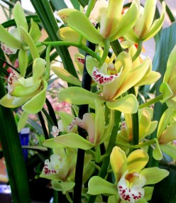 Cymbidium Else Sanderson, orchid, orchids, cymbidium, south east Melbourne, Melbourne, orchid clubs, orchid societies, OSCOV, orchid photos, orchid care, orchid pictures, orchid images, orchid shows, orchid newsletters, orchids on Facebook, orchids of Twitter, Moorabbin, Bentleigh, Brighton, Hampton, Sandringham, Black Rock, Beaumaris, Bayside Council, Bayside district, Kingston, Bayside Melbourne, SE Suburbs, Parkdale, Mordialloc, Carnegie, Cheltenham, McKinnon, Highett, Oakleigh, Clarinda, Heatherton, Clayton, Dingley, Elsternwick, Caulfield, Ormond, Glenhuntley, Murrumbeena,