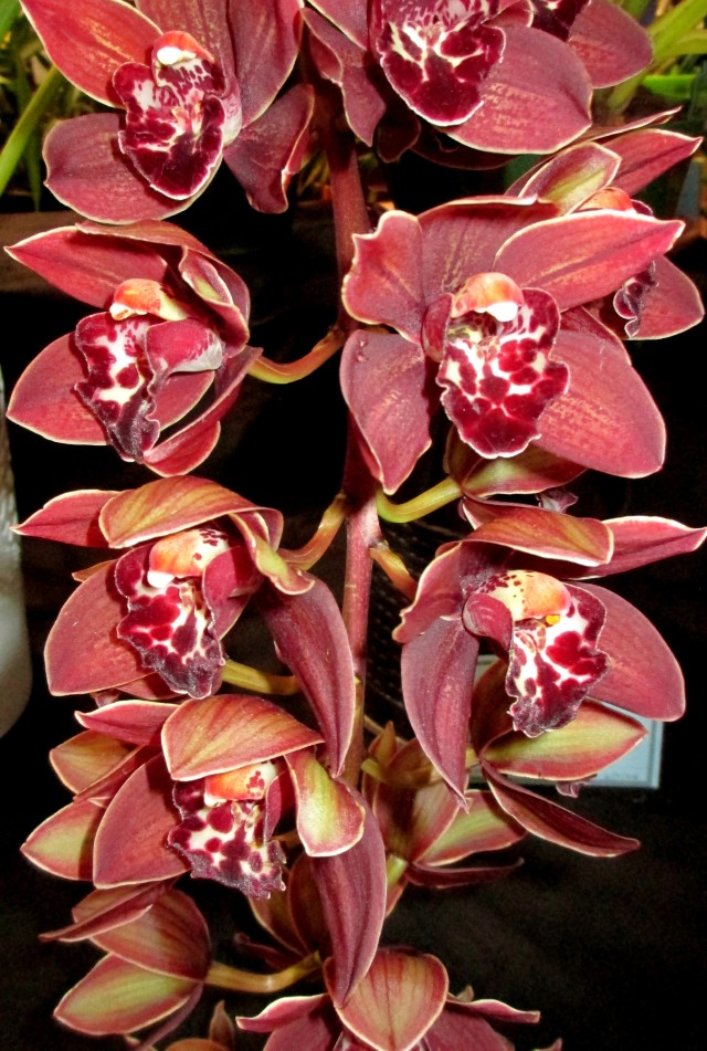 Cymbidium First Dance Tethys 'Black Magic' x Last Tango 'Geyserland'
