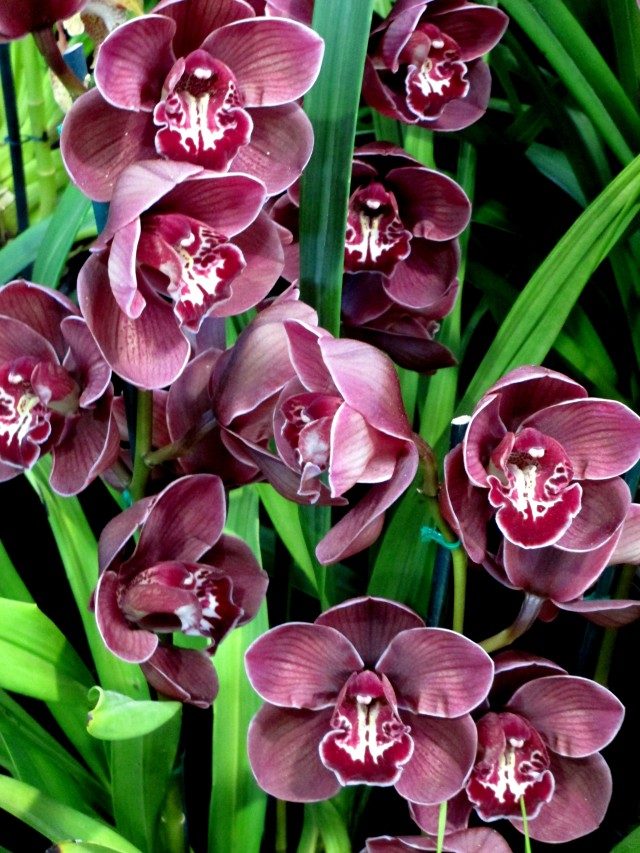 Cymbidium Flaming Comet