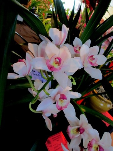 Cymbidium Sweet Amy, orchid, orchids, cymbidium, south east Melbourne, Melbourne, orchid clubs, orchid societies, OSCOV, orchid photos, orchid care, orchid pictures, orchid images, orchid shows, orchid newsletters, orchids on Facebook, orchids of Twitter, Moorabbin, Bentleigh, Brighton, Hampton, Sandringham, Black Rock, Beaumaris, Bayside Council, Bayside district, Kingston, Bayside Melbourne, SE Suburbs, Parkdale, Mordialloc, Carnegie, Cheltenham, McKinnon, Highett, Oakleigh, Clarinda, Heatherton, Clayton, Dingley, Elsternwick, Caulfield, Ormond, Glenhuntley, Murrumbeena,