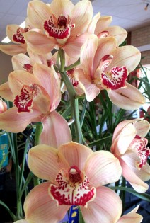 Cymbidium Julie Hawkes, orchid, orchids, cymbidium, south east Melbourne, Melbourne, orchid clubs, orchid societies, OSCOV, orchid photos, orchid care, orchid pictures, orchid images, orchid shows, orchid newsletters, orchids on Facebook, orchids of Twitter, Moorabbin, Bentleigh, Brighton, Hampton, Sandringham, Black Rock, Beaumaris, Bayside Council, Bayside district, Kingston, Bayside Melbourne, SE Suburbs, Parkdale, Mordialloc, Carnegie, Cheltenham, McKinnon, Highett, Oakleigh, Clarinda, Heatherton, Clayton, Dingley, Elsternwick, Caulfield, Ormond, Glenhuntley, Murrumbeena,