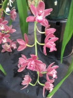Cymbidium Last Hurrah Sarah Jean 'Vapour' x Last Tango 'Geyserland', orchid, orchids, cymbidium, south east Melbourne, Melbourne, orchid clubs, orchid societies, OSCOV, orchid photos, orchid care, orchid pictures, orchid images, orchid shows, orchid newsletters, orchids on Facebook, orchids of Twitter, Moorabbin, Bentleigh, Brighton, Hampton, Sandringham, Black Rock, Beaumaris, Bayside Council, Bayside district, Kingston, Bayside Melbourne, SE Suburbs, Parkdale, Mordialloc, Carnegie, Cheltenham, McKinnon, Highett, Oakleigh, Clarinda, Heatherton, Clayton, Dingley, Elsternwick, Caulfield, Ormond, Glenhuntley, Murrumbeena,