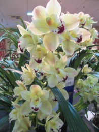 Cymbidium Loui's Pride x Noel's Joy, orchid, orchids, cymbidium, south east Melbourne, Melbourne, orchid clubs, orchid societies, OSCOV, orchid photos, orchid care, orchid pictures, orchid images, orchid shows, orchid newsletters, orchids on Facebook, orchids of Twitter, Moorabbin, Bentleigh, Brighton, Hampton, Sandringham, Black Rock, Beaumaris, Bayside Council, Bayside district, Kingston, Bayside Melbourne, SE Suburbs, Parkdale, Mordialloc, Carnegie, Cheltenham, McKinnon, Highett, Oakleigh, Clarinda, Heatherton, Clayton, Dingley, Elsternwick, Caulfield, Ormond, Glenhuntley, Murrumbeena,