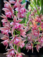 Cymbidium Mary Green Sarah Jean Vapo x devonironom, orchid, orchids, cymbidium, south east Melbourne, Melbourne, orchid clubs, orchid societies, OSCOV, orchid photos, orchid care, orchid pictures, orchid images, orchid shows, orchid newsletters, orchids on Facebook, orchids of Twitter, Moorabbin, Bentleigh, Brighton, Hampton, Sandringham, Black Rock, Beaumaris, Bayside Council, Bayside district, Kingston, Bayside Melbourne, SE Suburbs, Parkdale, Mordialloc, Carnegie, Cheltenham, McKinnon, Highett, Oakleigh, Clarinda, Heatherton, Clayton, Dingley, Elsternwick, Caulfield, Ormond, Glenhuntley, Murrumbeena,