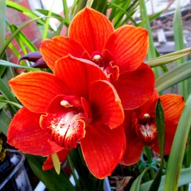 cymbidium (deep orange), orchid, orchids, cymbidium, south east Melbourne, Melbourne, orchid clubs, orchid societies, OSCOV, orchid photos, orchid care, orchid pictures, orchid images, orchid shows, orchid newsletters, orchids on Facebook, orchids of Twitter, Moorabbin, Bentleigh, Brighton, Hampton, Sandringham, Black Rock, Beaumaris, Bayside Council, Bayside district, Kingston, Bayside Melbourne, SE Suburbs, Parkdale, Mordialloc, Carnegie, Cheltenham, McKinnon, Highett, Oakleigh, Clarinda, Heatherton, Clayton, Dingley, Elsternwick, Caulfield, Ormond, Glenhuntley, Murrumbeena,