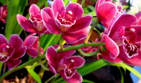 Cymbidium Orkney Pink 'Heather', orchid, orchids, cymbidium, south east Melbourne, Melbourne, orchid clubs, orchid societies, OSCOV, orchid photos, orchid care, orchid pictures, orchid images, orchid shows, orchid newsletters, orchids on Facebook, orchids of Twitter, Moorabbin, Bentleigh, Brighton, Hampton, Sandringham, Black Rock, Beaumaris, Bayside Council, Bayside district, Kingston, Bayside Melbourne, SE Suburbs, Parkdale, Mordialloc, Carnegie, Cheltenham, McKinnon, Highett, Oakleigh, Clarinda, Heatherton, Clayton, Dingley, Elsternwick, Caulfield, Ormond, Glenhuntley, Murrumbeena,