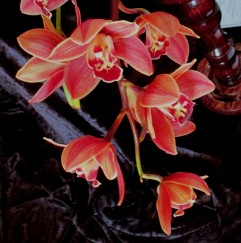 Cymbidium (Tiny Tiger x Sarah jean) 'Brown Bell'1, orchid, orchids, cymbidium, south east Melbourne, Melbourne, orchid clubs, orchid societies, OSCOV, orchid photos, orchid care, orchid pictures, orchid images, orchid shows, orchid newsletters, orchids on Facebook, orchids of Twitter, Moorabbin, Bentleigh, Brighton, Hampton, Sandringham, Black Rock, Beaumaris, Bayside Council, Bayside district, Kingston, Bayside Melbourne, SE Suburbs, Parkdale, Mordialloc, Carnegie, Cheltenham, McKinnon, Highett, Oakleigh, Clarinda, Heatherton, Clayton, Dingley, Elsternwick, Caulfield, Ormond, Glenhuntley, Murrumbeena,