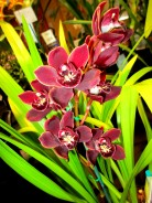 Cymbidium Waringa Winter National show, orchid, orchids, cymbidium, south east Melbourne, Melbourne, orchid clubs, orchid societies, OSCOV, orchid photos, orchid care, orchid pictures, orchid images, orchid shows, orchid newsletters, orchids on Facebook, orchids of Twitter, Moorabbin, Bentleigh, Brighton, Hampton, Sandringham, Black Rock, Beaumaris, Bayside Council, Bayside district, Kingston, Bayside Melbourne, SE Suburbs, Parkdale, Mordialloc, Carnegie, Cheltenham, McKinnon, Highett, Oakleigh, Clarinda, Heatherton, Clayton, Dingley, Elsternwick, Caulfield, Ormond, Glenhuntley, Murrumbeena,