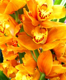 Cymbidium Yellow Bird, orchid, orchids, cymbidium, south east Melbourne, Melbourne, orchid clubs, orchid societies, OSCOV, orchid photos, orchid care, orchid pictures, orchid images, orchid shows, orchid newsletters, orchids on Facebook, orchids of Twitter, Moorabbin, Bentleigh, Brighton, Hampton, Sandringham, Black Rock, Beaumaris, Bayside Council, Bayside district, Kingston, Bayside Melbourne, SE Suburbs, Parkdale, Mordialloc, Carnegie, Cheltenham, McKinnon, Highett, Oakleigh, Clarinda, Heatherton, Clayton, Dingley, Elsternwick, Caulfield, Ormond, Glenhuntley, Murrumbeena,