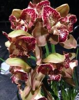 Cymbidium Rothsay 'Butterfly', orchid, orchids, cymbidium, south east Melbourne, Melbourne, orchid clubs, orchid societies, OSCOV, orchid photos, orchid care, orchid pictures, orchid images, orchid shows, orchid newsletters, orchids on Facebook, orchids of Twitter, Moorabbin, Bentleigh, Brighton, Hampton, Sandringham, Black Rock, Beaumaris, Bayside Council, Bayside district, Kingston, Bayside Melbourne, SE Suburbs, Parkdale, Mordialloc, Carnegie, Cheltenham, McKinnon, Highett, Oakleigh, Clarinda, Heatherton, Clayton, Dingley, Elsternwick, Caulfield, Ormond, Glenhuntley, Murrumbeena,