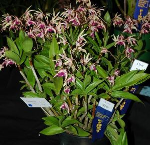 Dendrobium Cobber 'Violet Gold', dendrobiums, orchid, orchids, cymbidium, south east Melbourne, Melbourne, orchid clubs, orchid societies, OSCOV, orchid photos, orchid care, orchid pictures, orchid images, orchid shows, orchid newsletters, orchids on Facebook, orchids of Twitter, Moorabbin, Bentleigh, Brighton, Hampton, Sandringham, Black Rock, Beaumaris, Bayside Council, Bayside district, Kingston, Bayside Melbourne, SE Suburbs, Parkdale, Mordialloc, Carnegie, Cheltenham, McKinnon, Highett, Oakleigh, Clarinda, Heatherton, Clayton, Dingley, Elsternwick, Caulfield, Ormond, Glenhuntley, Murrumbeena,