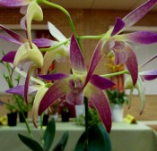 Dendrobium Colonial Surprise x Autumn Sharon, dendrobiums, orchid, orchids, cymbidium, south east Melbourne, Melbourne, orchid clubs, orchid societies, OSCOV, orchid photos, orchid care, orchid pictures, orchid images, orchid shows, orchid newsletters, orchids on Facebook, orchids of Twitter, Moorabbin, Bentleigh, Brighton, Hampton, Sandringham, Black Rock, Beaumaris, Bayside Council, Bayside district, Kingston, Bayside Melbourne, SE Suburbs, Parkdale, Mordialloc, Carnegie, Cheltenham, McKinnon, Highett, Oakleigh, Clarinda, Heatherton, Clayton, Dingley, Elsternwick, Caulfield, Ormond, Glenhuntley, Murrumbeena,