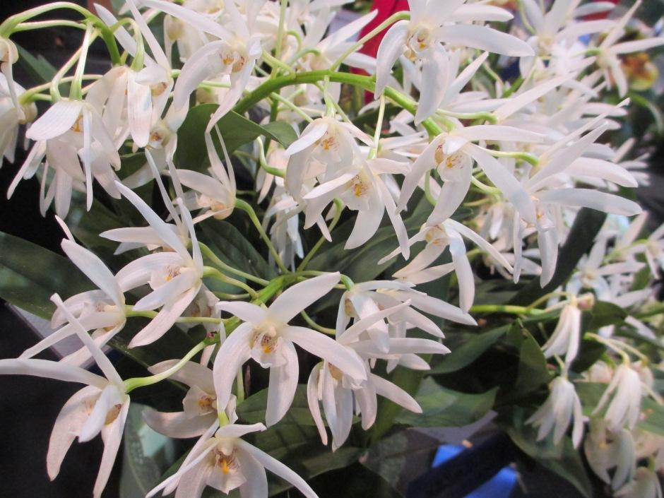 Dendrobium Tweed 'Marigold' x Jasmond Sparkler