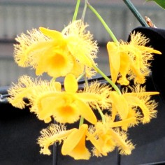 dendrobium harveyum, dendrobiums, orchid, orchids, cymbidium, south east Melbourne, Melbourne, orchid clubs, orchid societies, OSCOV, orchid photos, orchid care, orchid pictures, orchid images, orchid shows, orchid newsletters, orchids on Facebook, orchids of Twitter, Moorabbin, Bentleigh, Brighton, Hampton, Sandringham, Black Rock, Beaumaris, Bayside Council, Bayside district, Kingston, Bayside Melbourne, SE Suburbs, Parkdale, Mordialloc, Carnegie, Cheltenham, McKinnon, Highett, Oakleigh, Clarinda, Heatherton, Clayton, Dingley, Elsternwick, Caulfield, Ormond, Glenhuntley, Murrumbeena,