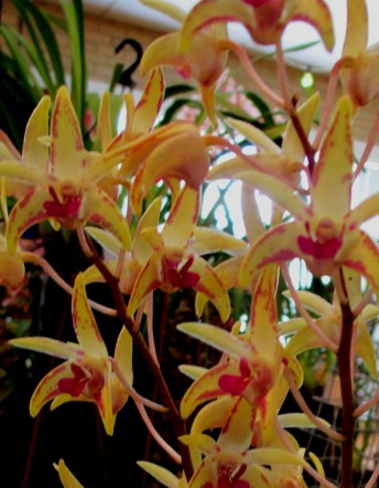 Dendrobium Hot Dusky Boy, dendrobium, dendrobiums, orchid, orchids, cymbidium, cymbidium kimberly splash, tee pee, south east Melbourne, Melbourne, orchid clubs, orchid societies, OSCOV, orchid photos, orchid care, orchid pictures, orchid images, orchid shows, orchid newsletters, orchids on Facebook, orchids of Twitter, Moorabbin, Bentleigh, Brighton, Hampton, Sandringham, Black Rock, Beaumaris, Bayside Council, Bayside district, Kingston, Bayside Melbourne, SE Suburbs, Parkdale, Mordialloc, Carnegie, Cheltenham, McKinnon, Highett, Oakleigh, Clarinda, Heatherton, Clayton, Dingley, Elsternwick, Caulfield, Ormond, Glenhuntley, Murrumbeena,