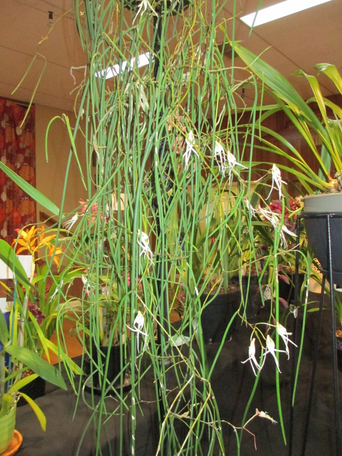 Dockrillia dendrotorium teretifolia pencil orchid, pencil orchid, pencil orchids, dockrillia, orchid, orchids, cymbidium, south east Melbourne, Melbourne, orchid clubs, orchid societies, OSCOV, orchid photos, orchid care, orchid pictures, orchid images, orchid shows, orchid newsletters, orchids on Facebook, orchids of Twitter, Moorabbin, Bentleigh, Brighton, Hampton, Sandringham, Black Rock, Beaumaris, Bayside Council, Bayside district, Kingston, Bayside Melbourne, SE Suburbs, Parkdale, Mordialloc, Carnegie, Cheltenham, McKinnon, Highett, Oakleigh, Clarinda, Heatherton, Clayton, Dingley, Elsternwick, Caulfield, Ormond, Glenhuntley, Murrumbeena,