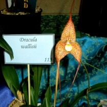 Dracula wallisii, dracula, orchid, orchids, cymbidium, south east Melbourne, Melbourne, orchid clubs, orchid societies, OSCOV, orchid photos, orchid care, orchid pictures, orchid images, orchid shows, orchid newsletters, orchids on Facebook, orchids of Twitter, Moorabbin, Bentleigh, Brighton, Hampton, Sandringham, Black Rock, Beaumaris, Bayside Council, Bayside district, Kingston, Bayside Melbourne, SE Suburbs, Parkdale, Mordialloc, Carnegie, Cheltenham, McKinnon, Highett, Oakleigh, Clarinda, Heatherton, Clayton, Dingley, Elsternwick, Caulfield, Ormond, Glenhuntley, Murrumbeena,