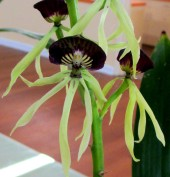 Encyclia Cochleata 'Otopussy', encyclias, orchid, orchids, cymbidium, south east Melbourne, Melbourne, orchid clubs, orchid societies, OSCOV, orchid photos, orchid care, orchid pictures, orchid images, orchid shows, orchid newsletters, orchids on Facebook, orchids of Twitter, Moorabbin, Bentleigh, Brighton, Hampton, Sandringham, Black Rock, Beaumaris, Bayside Council, Bayside district, Kingston, Bayside Melbourne, SE Suburbs, Parkdale, Mordialloc, Carnegie, Cheltenham, McKinnon, Highett, Oakleigh, Clarinda, Heatherton, Clayton, Dingley, Elsternwick, Caulfield, Ormond, Glenhuntley, Murrumbeena,