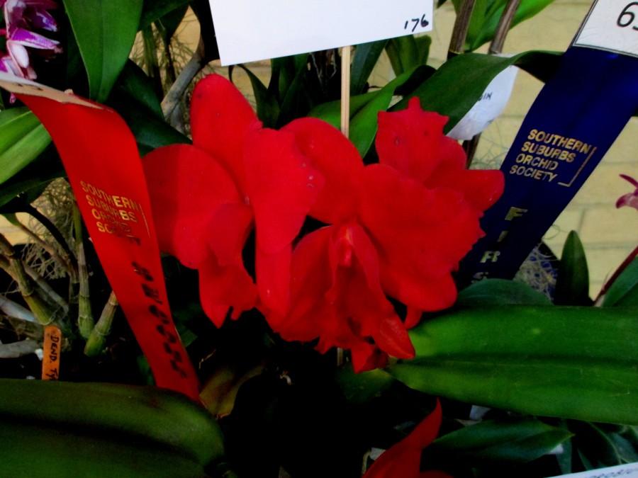 GSL Dixie Jewels 'Suzuki', laelia, cattleya, orchid, orchids, cymbidium, south east Melbourne, Melbourne, orchid clubs, orchid societies, OSCOV, orchid photos, orchid care, orchid pictures, orchid images, orchid shows, orchid newsletters, orchids on Facebook, orchids of Twitter, Moorabbin, Bentleigh, Brighton, Hampton, Sandringham, Black Rock, Beaumaris, Bayside Council, Bayside district, Kingston, Bayside Melbourne, SE Suburbs, Parkdale, Mordialloc, Carnegie, Cheltenham, McKinnon, Highett, Oakleigh, Clarinda, Heatherton, Clayton, Dingley, Elsternwick, Caulfield, Ormond, Glenhuntley, Murrumbeena,